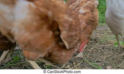 chicken goes looking for food summer farming Poultry slow...