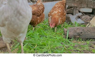 chicken ginger goes looking for food summer farming Poultry...