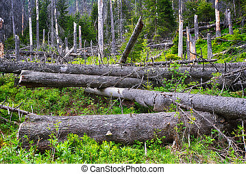 coniferous forest - summer day in coniferous forest...