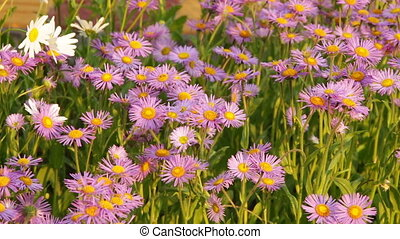 Chamomile Flowers on a Sunny Day - Chamomile flowers on a...