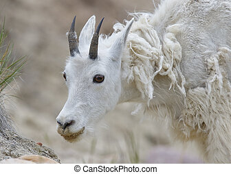 Mountain Goat Shedding its Winter Coat - Jasper National...