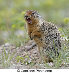 Columbian Ground Squirrel Callling in Banff National Park -...