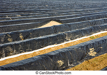 Asparagus field covered with platic foil - Asparagus field...