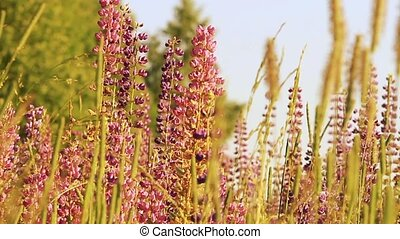 Fireweed, Chamerion angustifolium blooming in wind