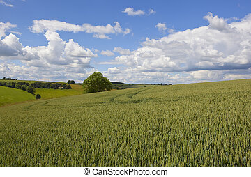 yorkshire wolds wheat field - a ripening wheat crop in the...