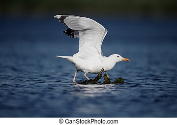 Caspian gull, Larus cachinnans, single bird on branch in...
