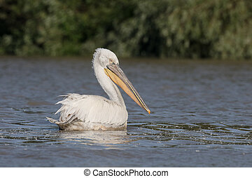Dalmatian pelican, Pelecanus crispus, single bird on water,...