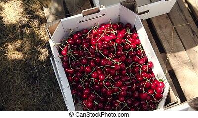 Cherries. picking ripe cherry. - Interspersed with cherry...