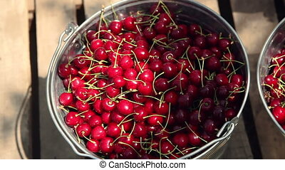 Cherries in a bucket. picking ripe cherry - young people...