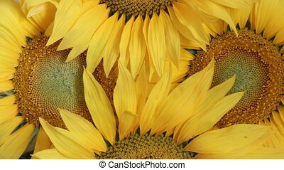 sunflowers - flower background - Several large yellow...