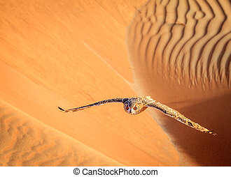 Desert Eagle Owl flying over dunes of Dubai Desert...
