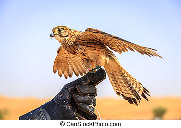 Female Kestrel - Portrait of female Kestrel on a trainer's...