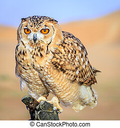 Desert Eagle Owl - Portrait of Desert Eagle Owl on a...