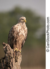 White-tailed sea-eagle, Haliaeetus albicilla, single bird on...