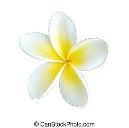 frangipani - single beautiful frangipani (plumeria) flower,...