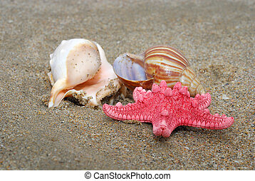Seashells and a sea star - Two seashells and a sea star on...
