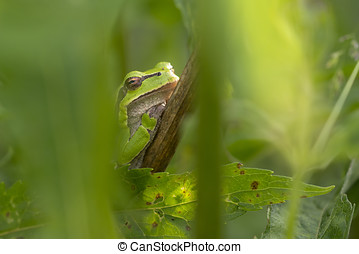 European Tree Frog Hyla arborea resting on a Stem