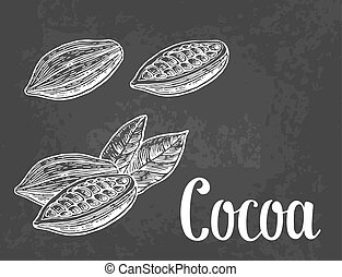 Leaves and fruits of cocoa beans. Vector vintage engraved illustration.