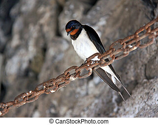 Swallow ( Hirundo rustica ) bird perched on a rusty chain