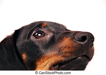 Dachshund puppy on white background