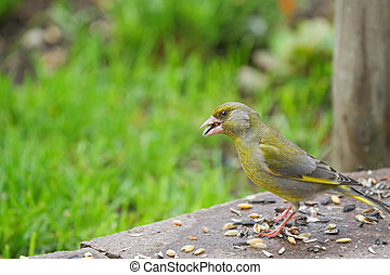 European Greenfinch bird eating sunflower seeds on the...