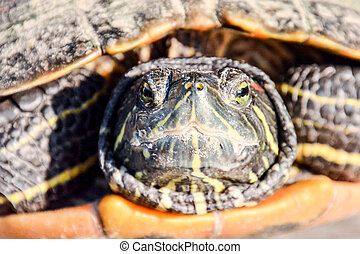 Trachemys Scripta Elegans Tortoise - Photo Picture of Red...