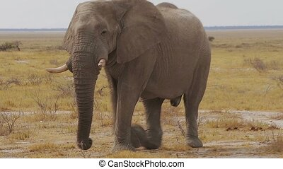 big african elephants on Etosha - Big dominant male of...