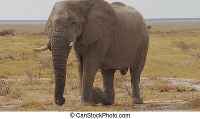 big african elephants on Etosha - Big dominant male of...