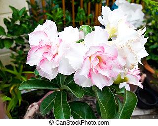 floreale, fondo., tropicale, fiore, rosa, Adenium., Deserto,...