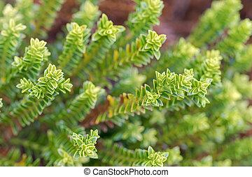 Hebe, verde, globo, plantas, sabido, como, Shrubby,...