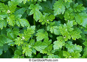 Feverfew plants with wet green leaves and flower buds after...