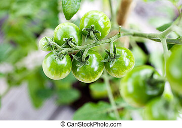 Growing tomatoes - Growing small cherry tomatoes at home