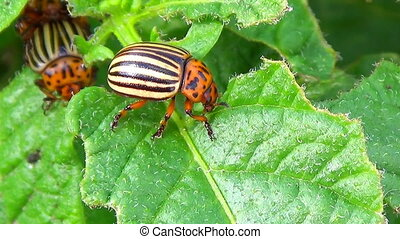 Colorado potato beetle on green leafs - Colorado Potato...