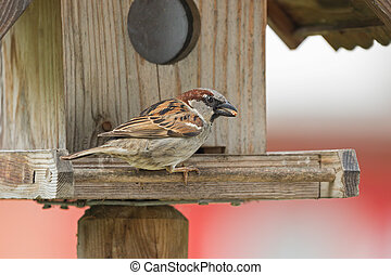 Male House Sparrow bird in gray brown white with food seed...