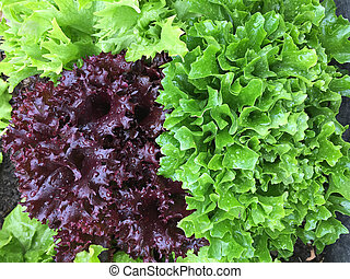 Home grown curly lettuce in purple color and other fresh salad leaves with wet foliage