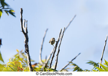 Yellow-rumped Warbler stare - Yellow-rumped Warbler makes...