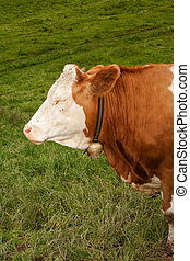 bull calf - Head with closed eyes of a magnificent bull calf