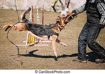 German Shepherd Dog Training Biting Alsatian Wolf Dog...