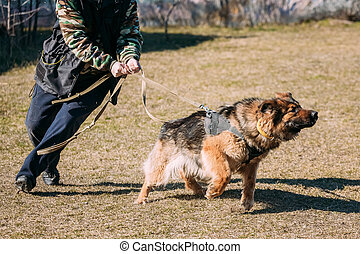 German Shepherd Dog training Biting dog - Angry German...
