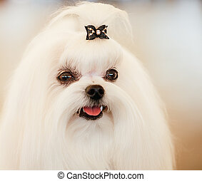 Cute Shih Tzu White Toy Dog Indoors
