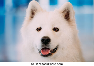 Happy White Samoyed Bjelkier Dog - Close up of Happy White...