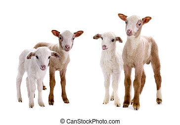 little sheeps on a white background