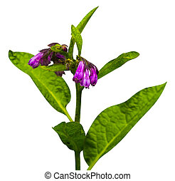 Comfrey. Comfrey (Symphytum officinale) flowers of a used in...