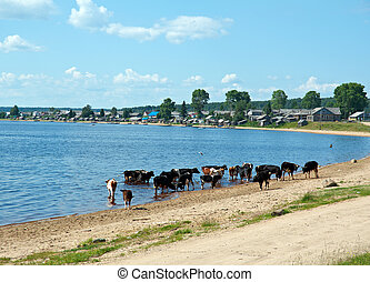 Lake Kenozero . Herd of cows in the water .Arkhangelsk...