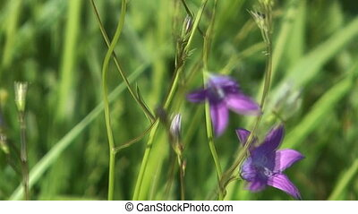 Campanula. - The field flower bellflower shakes on a strong...