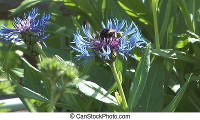 Blue cornflower.