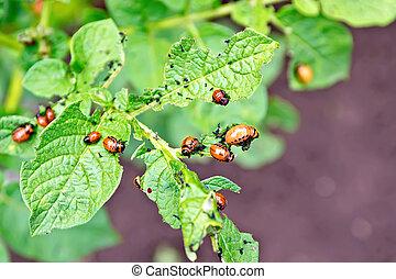 Colorado beetle larvae on potato leaves - Orange larvae of...