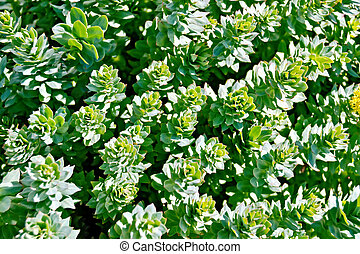 Rhodiola rosea mesh - The texture of the green leaves and...