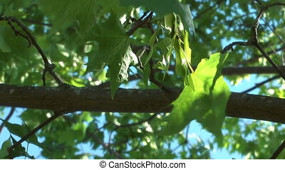 Maple tree. - Green maple leaves against the blue sky.