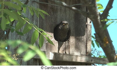 Fledgling starlings. - Starling feeding chicks seated in a...